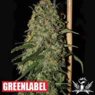 Green Label Seeds Easy Skunk AKA OG Cheese
